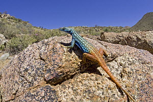 Cape Flat Lizard (Platysaurus capensis) in succulent karoo habitat, sunning on rock, Richtersveld, Northern Cape, South Africa  -  Piotr Naskrecki