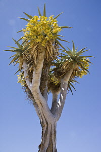 Bastard Quiver Tree (Aloe pillansii) flowering, Richtersveld, South Africa - Piotr Naskrecki