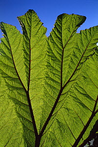 Poor Man's Umbrella (Gunnera insignis) leaves showing ribs and veination, Volcan Irazu National Park, Costa Rica  -  Kevin Schafer