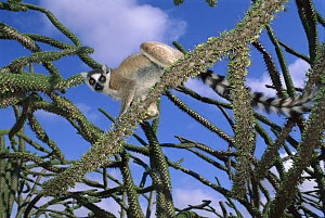 Ring-tailed Lemur (Lemur catta) in Octopus tree, Mantady National Park, Madagascar - Kevin Schafer