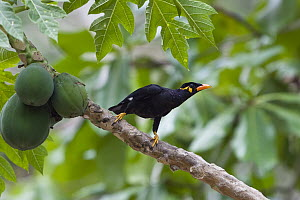 Hill Myna (Gracula religiosa) with papaya, Havelock Island, India  -  Konrad Wothe