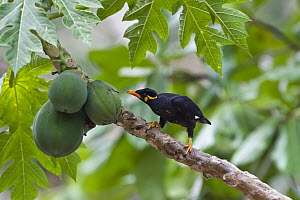 Hill Myna (Gracula religiosa) feeding on papaya, Havelock Island, India  -  Konrad Wothe