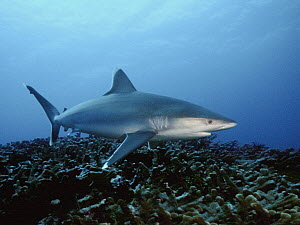 Silver-tip Shark (Carcharhinus albimarginatus) swimming over coral reef, Bismarck Sea, Papua New Guinea  -  Mike Parry