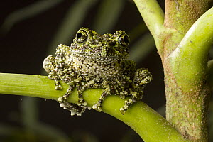 Moss Frog (Theloderma corticale), native to northern Vietnam  -  Michael Durham