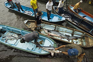 Bigeye Thresher Shark (Alopias superciliosus) probably caught in gill nets, offloaded from fishing boats, Santa Rosa Fishing Village, Santa Elena Peninsula, Ecuador - Pete Oxford