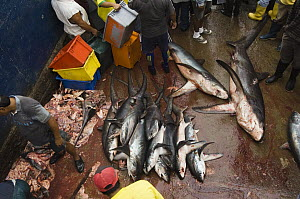 Bigeye Thresher Shark (Alopias superciliosus) and Pelagic Thresher Shark (Alopias pelagicus) probably caught in gill nets, Santa Rosa Fishing Village, Santa Elena Peninsula, Ecuador - Pete Oxford