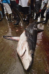 Bigeye Thresher Shark (Alopias superciliosus) probably caught in gill net along with other species, Santa Rosa Fishing Village, Santa Elena Peninsula, Ecuador - Pete Oxford