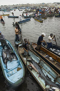 Bigeye Thresher Shark (Alopias superciliosus) and Pelagic Thresher Shark (Alopias pelagicus) probably caught in gill nets in fishing boats, Santa Rosa Fishing Village, Santa Elena Peninsula, Ecuador - Pete Oxford