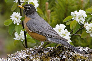 American Robin (Turdus migratorius) male, Troy, Montana  -  Donald M. Jones