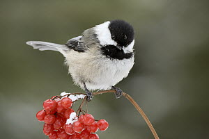 Black-capped Chichadee (Poecile atricapillus) perching on snow-covered berries, western Montana  -  Donald M. Jones