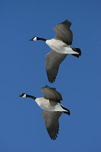 Canada Goose (Branta canadensis) pair flying, central Montana  -  Donald M. Jones