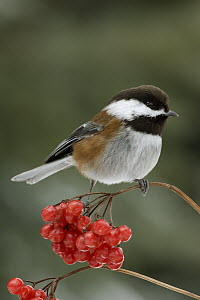 Chestnut-backed Chickadee (Poecile rufescens) in winter on berries, western Montana  -  Donald M. Jones