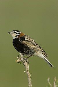 Chestnut-collared Longspur (Calcarius ornatus) male, eastern Montana  -  Donald M. Jones