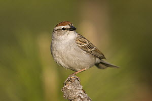 Chipping Sparrow (Spizella passerina), western Montana - Donald M. Jones