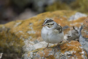 Clay-colored Sparrow (Spizella pallida) on a lichen covered rock, eastern Montana  -  Donald M. Jones