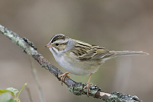 Clay-colored Sparrow (Spizella pallida), eastern Montana  -  Donald M. Jones