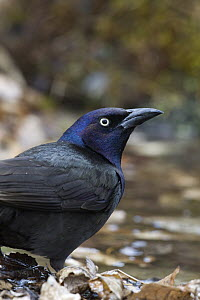 Common Grackle (Quiscalus quiscula) male in shallow water, eastern Montana - Donald M. Jones
