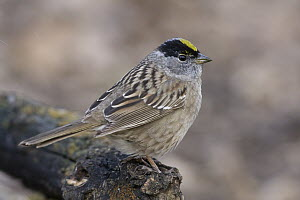 Golden-crowned Sparrow (Zonotrichia atricapilla), eastern Montana  -  Donald M. Jones