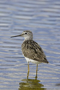 Lesser Yellowlegs (Tringa flavipes) in spring plumage wading in lake, central Montana  -  Donald M. Jones