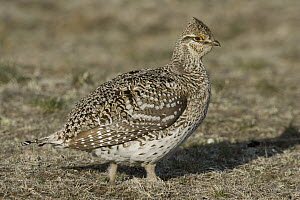 Sharp-tailed Grouse (Tympanuchus phasianellus) female on prairie, eastern Montana - Donald M. Jones