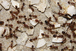 Red Imported Fire Ant (Solenopsis invicta) group, native to South America, Florida - Scott Leslie