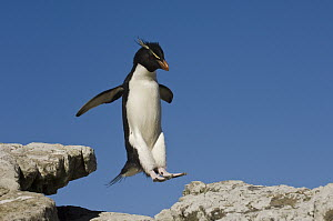 Rockhopper Penguin (Eudyptes chrysocome) jumping, Pebble Island, Falkland Islands  -  Pete Oxford