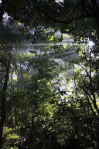 Sun shining down through the tropical rainforest canopy, Cameroon - Cyril Ruoso