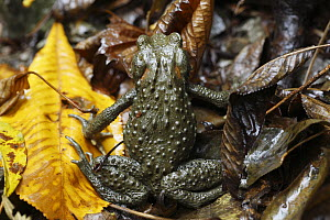 Japanese Toad (Bufo japonicus) is diurnal here due to the large amount of moisture, Yoshino-Kumano National Park, Japan - Cyril Ruoso