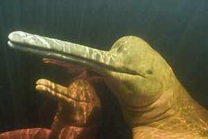 Amazon River Dolphin (Inia geoffrensis) mother and calf, Rio Negro, Amazonia, Brazil - Kevin Schafer