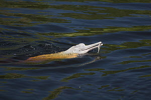 Amazon River Dolphin (Inia geoffrensis) with caught fish, Rio Negro, Amazonia, Brazil - Kevin Schafer
