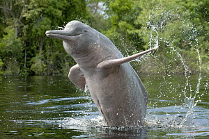 Amazon River Dolphin (Inia geoffrensis) jumping, Ariau River, tributary of Rio Negro, Amazonia, Brazil - Kevin Schafer