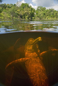 Amazon River Dolphin (Inia geoffrensis) in flooded forest, Rio Negro, Amazonia, Brazil - Kevin Schafer
