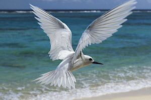 White Tern (Gygis alba) flying over beach, Midway Atoll, Hawaiian Leeward Islands, Hawaii  -  Sebastian Kennerknecht