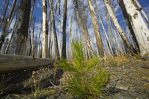 Sapling amid coniferous trees burned by forest fire, Yellowstone National Park, Wyoming - Yva Momatiuk & John Eastcott