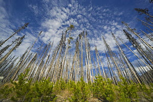 Saplings amidst coniferous trees burned by forest fire, Yellowstone National Park, Wyoming - Yva Momatiuk & John Eastcott
