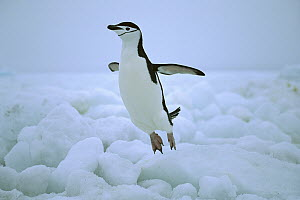Chinstrap Penguin (Pygoscelis antarctica) hopping over ice, South Sandwich Islands, Antarctica  -  Konrad Wothe