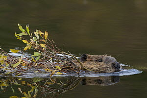 American Beaver (Castor canadensis) swimming with willow branch in mouth, western Montana  -  Donald M. Jones