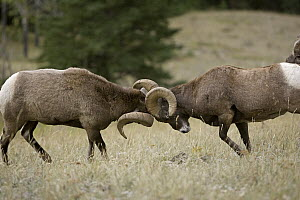 Bighorn Sheep (Ovis canadensis) rams butting heads, western Montana - Donald M. Jones