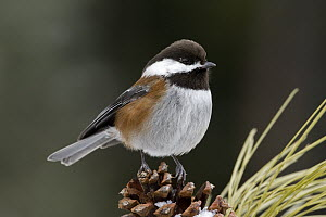 Chestnut-backed Chickadee (Poecile rufescens) on Ponderosa Pine (Pinus ponderosa) cone, western Montana - Donald M. Jones