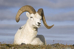 Dall's Sheep (Ovis dalli) ram, central Alaska  -  Donald M. Jones