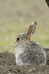 Desert Cottontail (Sylvilagus audubonii), eastern Montana - Donald M. Jones