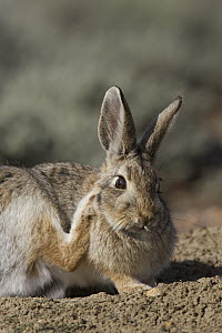 Desert Cottontail (Sylvilagus audubonii) scratching itself, eastern Montana - Donald M. Jones
