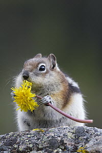 Golden-mantled Ground Squirrel (Callospermophilus lateralis) eating Dandelion (Taraxacum officinale), western Montana - Donald M. Jones