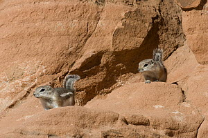 White-tailed Antelope Squirrel (Ammospermophilus leucurus) pair in red rocks, southern Nevada - Donald M. Jones