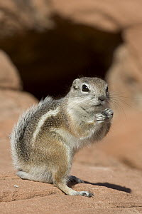 White-tailed Antelope Squirrel (Ammospermophilus leucurus) standing on hind legs, southern Nevada - Donald M. Jones