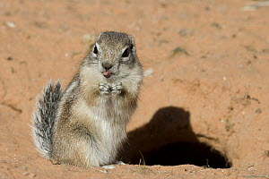 White-tailed Antelope Squirrel (Ammospermophilus leucurus) sticking out its tongue, southern Nevada - Donald M. Jones