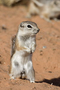 White-tailed Antelope Squirrel (Ammospermophilus leucurus) standing guard, southern Nevada - Donald M. Jones