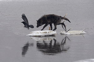 Timber Wolf (Canis lupus) stepping on ice floe with elk antlers from previous kill with Common Raven (Corvus corax) flying off, Yellowstone National Park, Wyoming  -  Donald M. Jones
