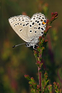 Cranberry Blue (Vacciniina optilete) butterfly on Heather (Calluna vulgaris), Drenthe, Netherlands - Silvia Reiche