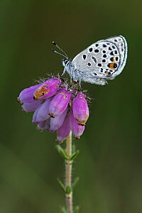 Cranberry Blue (Vacciniina optilete) butterfly on Cross-leaved Heath (Erica tetralix) flowers, Drenthe, Netherlands - Silvia Reiche